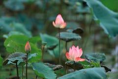 莲花在夫斯汉Qiandenghu公园  图库摄影