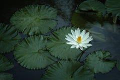 莲花在寺庙池塘 库存图片