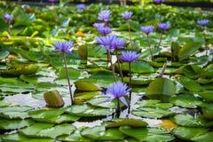 莲花在小游艇船坞海湾前面的,新加坡池塘 免版税图库摄影