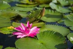 莲花在小游艇船坞海湾前面的,新加坡池塘 库存图片