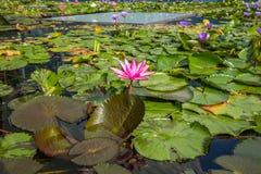 莲花在小游艇船坞海湾前面的,新加坡池塘 免版税库存图片