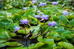 莲花在小游艇船坞海湾前面的,新加坡池塘 免版税库存照片