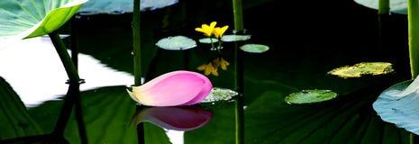 莲花在日本,花的片断 免版税库存照片