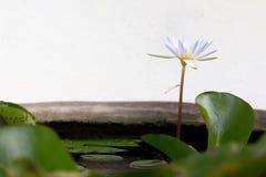 莲花在有蜻蜓的一个池塘 免版税库存图片