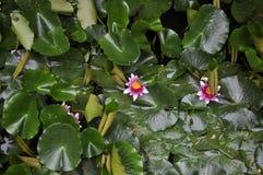 莲花在池塘。 免版税库存图片