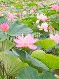 莲花在池塘 免版税库存图片
