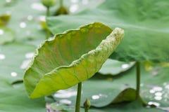 莲花在池塘 库存图片