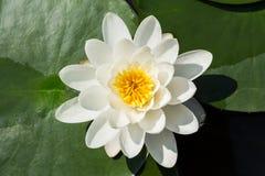 莲花在池塘 ?? 免版税库存图片