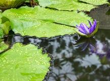 莲花在池塘 Waterlilly开花在庭院里 留下雨珠 自然本底 免版税库存图片
