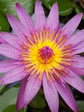 莲花在泰国 免版税库存图片