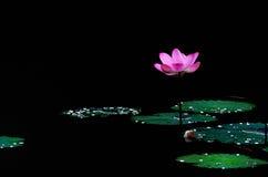 莲花在湖 库存照片
