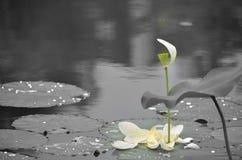 莲花在湖 库存图片