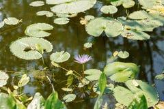 莲花在荷花池在一个晴天 免版税库存图片