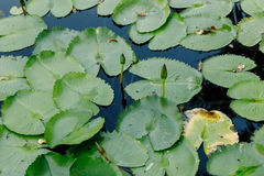 莲花在荷花池在一个晴天 免版税库存照片