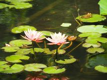 莲花在阳光下 免版税图库摄影