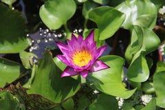 莲花在水中 免版税库存照片