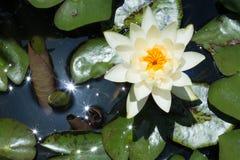 莲花在水中 库存图片