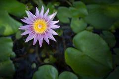 莲花在水中 免版税库存图片