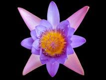 莲花在黑背景中 库存图片
