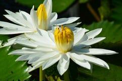 莲花孪生 库存照片