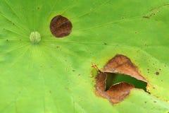 莲花害病的叶子 免版税库存照片