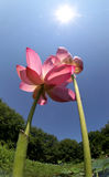 莲花对 库存照片
