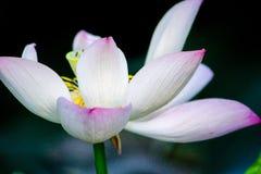 莲花开花在池塘 免版税库存照片