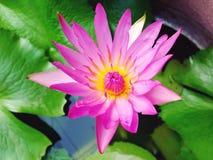 莲花开花的背景 图库摄影
