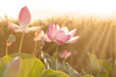 莲花开花花在伏尔加河三角洲的 阿斯特拉罕地区,里海,俄罗斯 免版税库存照片