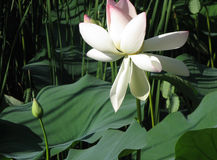 莲花开花,与莲花叶子的桃红色荷花在池塘 图库摄影
