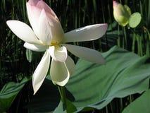莲花开花,与莲花叶子的桃红色荷花在池塘 免版税库存图片