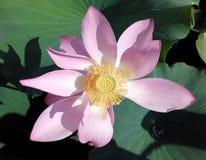 莲花开花,与莲花叶子的桃红色荷花在池塘 库存图片