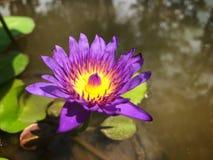 莲花或水lilly五颜六色在水池,它是7月花  免版税库存图片