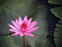 莲花或水lilly五颜六色在水池,它是7月花  免版税库存照片