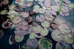 莲花或水 库存图片