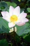 莲花或水Lilly开花在池塘 图库摄影