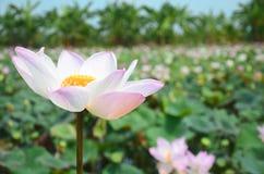 莲花或水Lilly开花在池塘 免版税库存图片