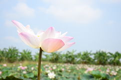 莲花或水Lilly开花在池塘 免版税库存照片