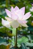 莲花或水Lilly开花在池塘 免版税图库摄影