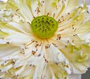莲花是花 图库摄影