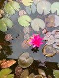莲花桃红色池塘 免版税库存照片
