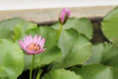 莲花桃红色池塘 免版税库存图片