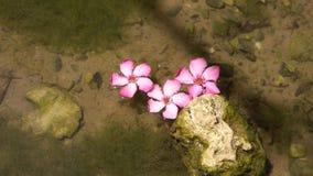莲花桃红色河 桃红色花在河 水表面上的美丽的花 影视素材