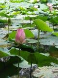 莲花桃红色泰国 库存图片