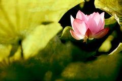 莲花桃红色纹理使用 免版税库存照片