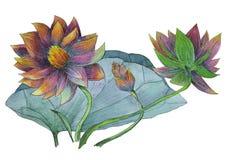 莲花水生植物原始的水彩绘画  免版税库存照片