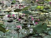莲花池塘  库存照片