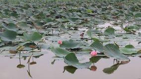 莲花沼泽在大学 影视素材