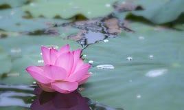 莲花特写镜头在早晨安静的湖开花 库存图片