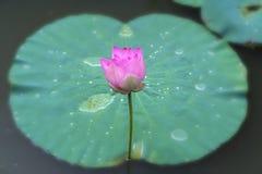 莲花特写镜头在早晨安静的湖开花 库存照片